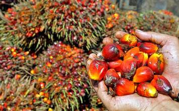 Crude palm oil to continue bullish momentum, up 1.4% during the week